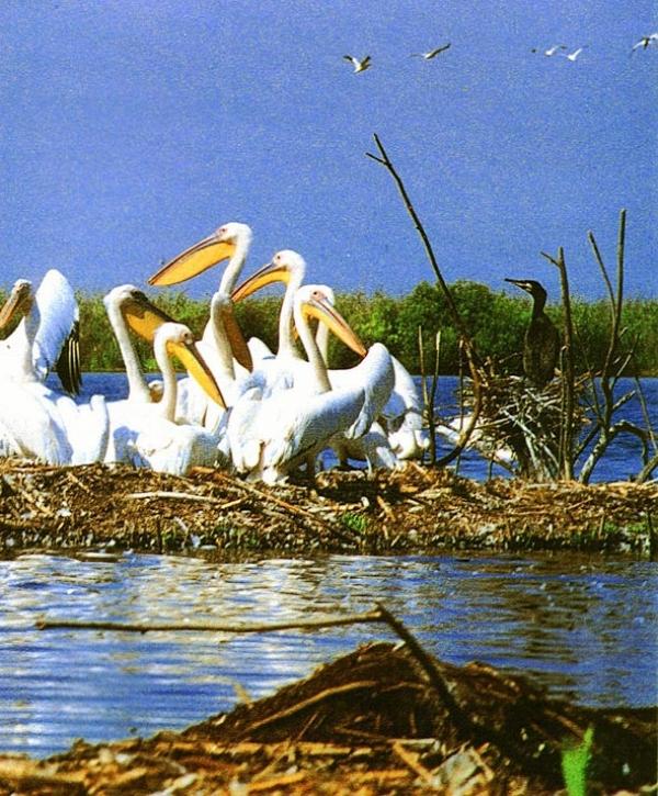 dalmatian-pelican-pelecanus-crispus-775